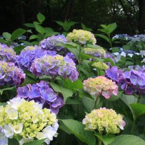 広陵町 馬見丘陵公園 紫陽花 2