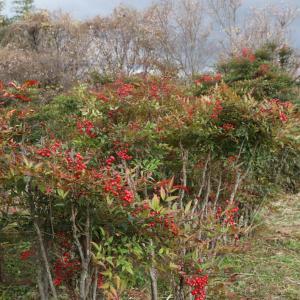 橿原市 戒外町(かいげちょう) 南天 十月桜