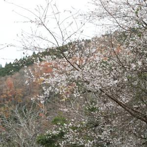 明日香 栢森(かやのもり) 十月桜