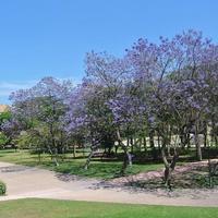 コロナなどどこ吹く風で花は咲く~初夏の風物詩ジャカランダ