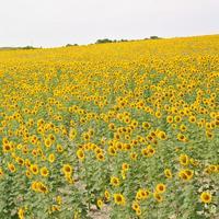 バレンシアのひまわり畑は今が見ごろ