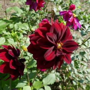 存在感あふれるダリアの花に魅せられて☆長居植物園♪
