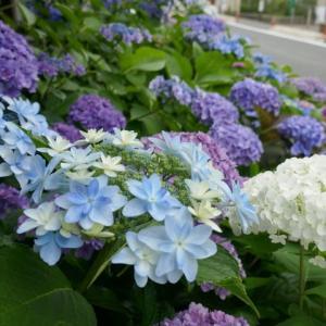 住宅街に突如現れた紫陽花の園☆し.お.の.倶楽部☆大阪市住吉区♪