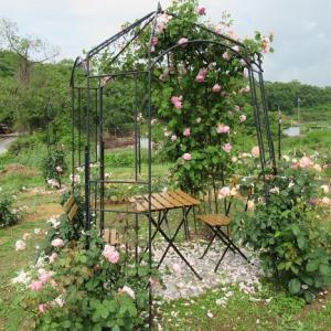 バラ収穫?