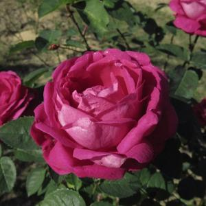 季節外れの陽気で見頃のバラ