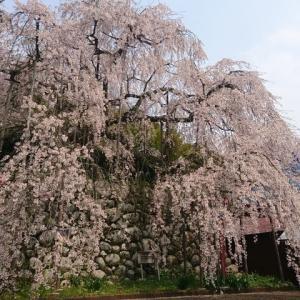 桜咲く。。。