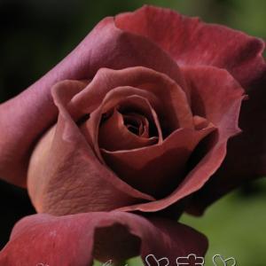 庭の薔薇 : ブラックティー