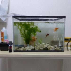 我が家の金魚も少し大きくなりました。