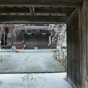 光福寺の大イトザクラ を見に行きました。