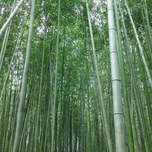 京都に行きました。 嵯峨野竹林 嵐山