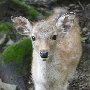 奈良公園~東大寺に行きました。 鹿のけんか