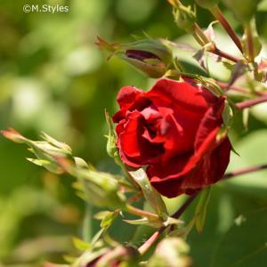 癒しの薔薇&自宅でスパ気分を味わう