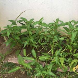 お庭で空心菜