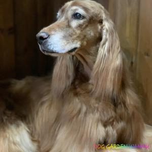 テラの姉犬ジュピリー