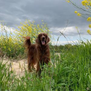 大型犬2頭と暮らしてると飼い主も健康になる!