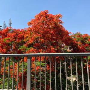 火炎樹満開