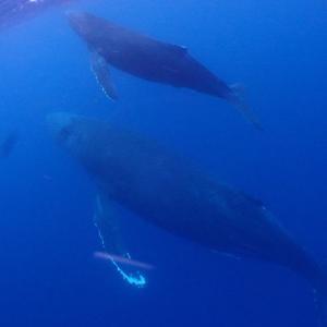 親子クジラが~