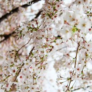 桜の季節とファットラスカル