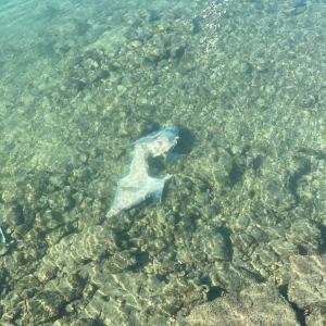 ☆アラモアナ付近でもサメが!!!☆