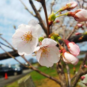 高峰桜20200402