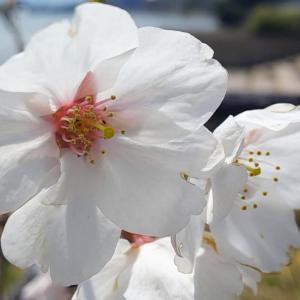 高峰桜20200404