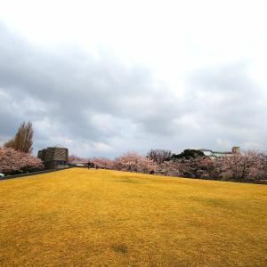 ドローンで桜を撮りに行ったけど。
