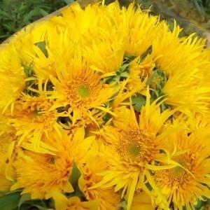 八重咲きのひまわり