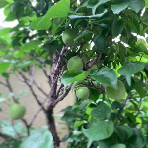 庭の梅の実