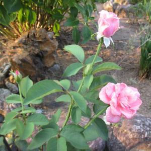 500円で買った薔薇、ドミニクロワゾー