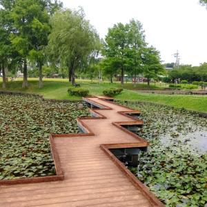 兵庫県~平池公園~蓮を見に