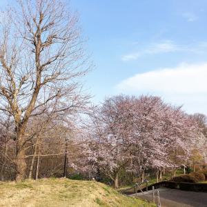 ひな地方の桜