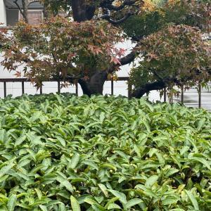 紅葉と茶の花