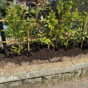 四ツ目垣の作成と生垣(混ぜ垣)の植栽