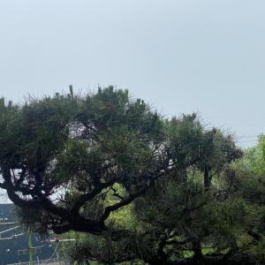 「鬼滅の刃」風に言えば松の呼吸で剪定してます。