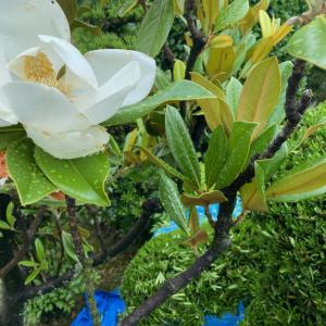 泰山木の香りと雨