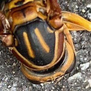 セグロアシナガバチの背中
