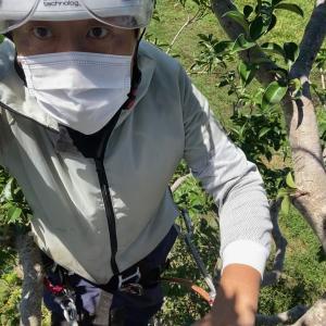 台風対策でクロガネモチの高木剪定