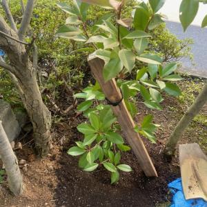 植栽にも樹勢回復剤にも使えます