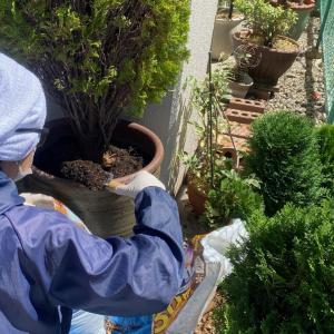 鉢から鉢へ植え替え