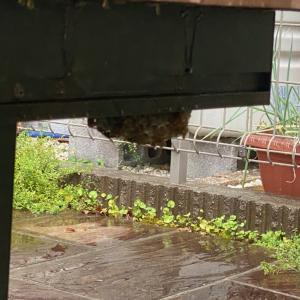 雨で蜂が大人しい時がチャンス
