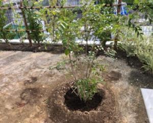 シマトネリコの植栽