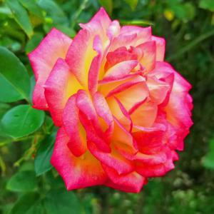 綺麗に咲き誇る京成バラ園のバラ2019-41