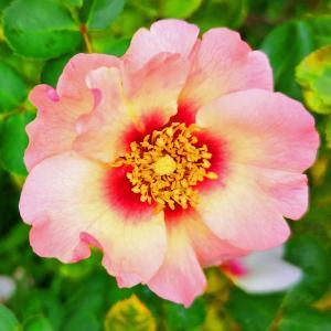 綺麗に咲き誇る京成バラ園のバラ2019-42