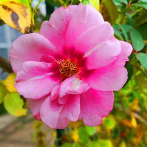 綺麗に咲き誇る京成バラ園のバラ2019-43
