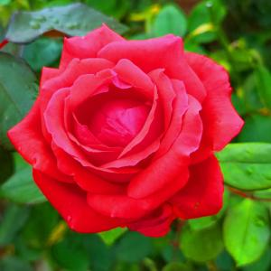 綺麗に咲き誇る京成バラ園のバラ2019-61