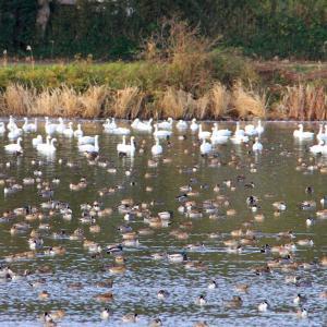 夏目の堰の白鳥と鴨2020-5
