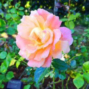 綺麗に咲き誇る京成バラ園のバラ2020-3