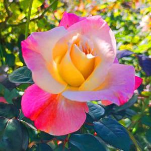 綺麗に咲き誇る京成バラ園のバラ2020-4