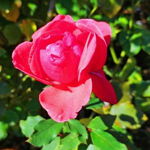 綺麗に咲き誇る京成バラ園のバラ2020-5