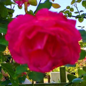 綺麗に咲き誇る京成バラ園のバラ2020-23